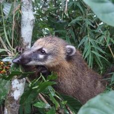 I coati, della famiglia dei procioni, sono animali sfacciatissimi che si avvicinano ai turisti per elemosinare cibo.